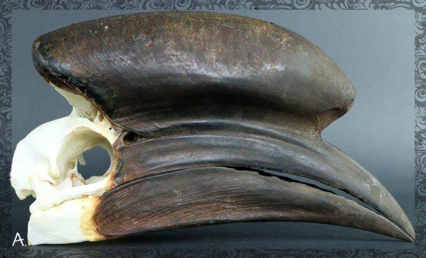 Crâne de Calao à casque noir Ceratogymna atrata sexe mâle