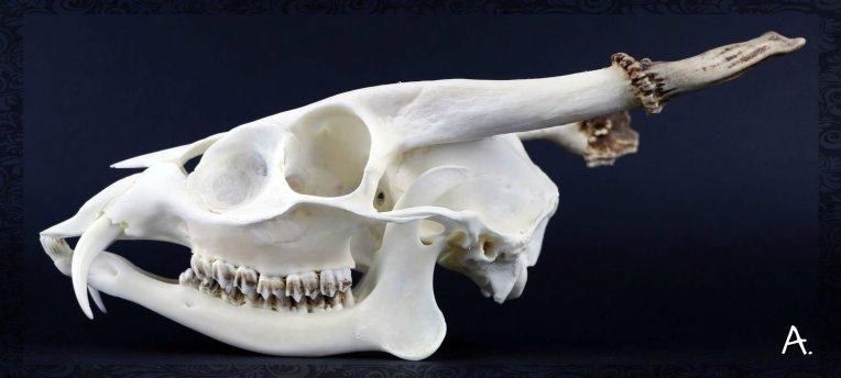Crâne de Muntjac de Reeves Muntiacus reevesi sexe mâle