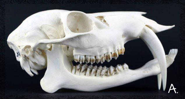 Crâne d'Hydropote Hydropotes inermis sexe mâle
