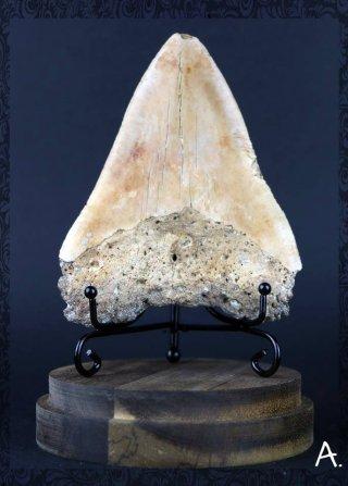 La dent de Megalodon Carcharodon megalodon 28 à 3M d'années